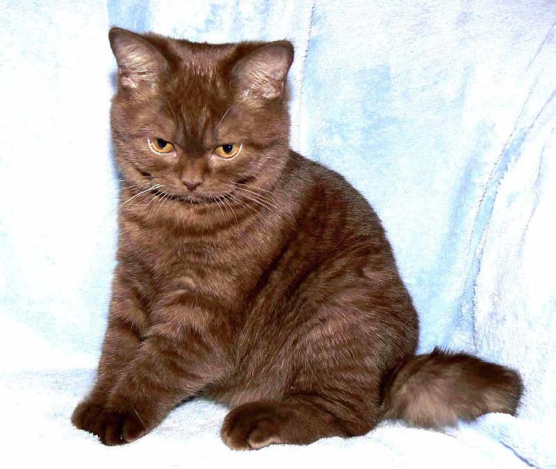 Britská koťata prodám