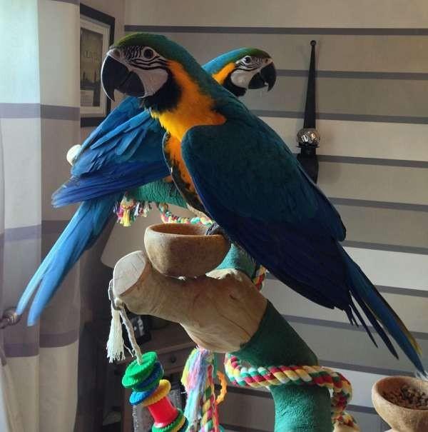 Ara papoušci na prodej