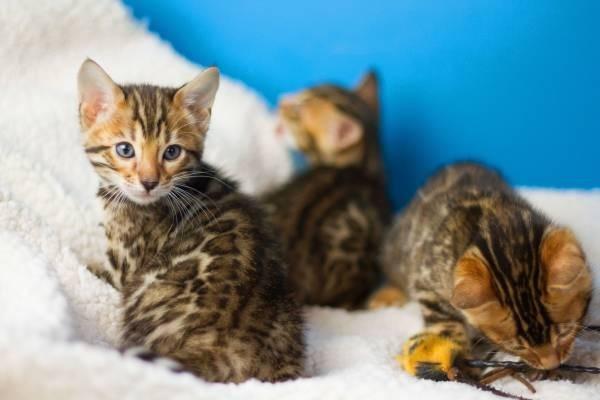 Roztomilé bengálské koťata k dispozici