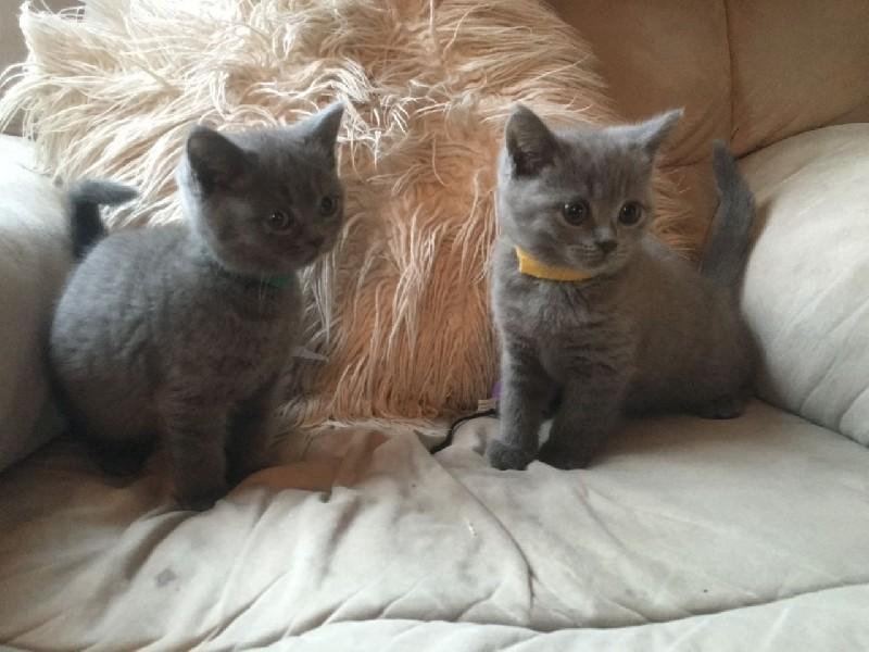 Krasna britský modrý Koťata